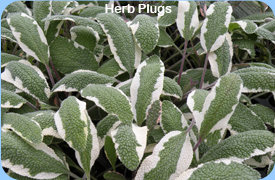 Herb Plugs - Salvia Tricolour